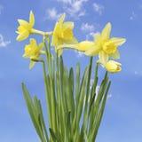 Gelbe Narzissenblumen Stockfotos