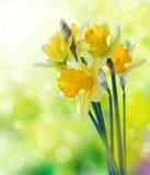 Gelbe Narzissenblumen auf unscharfem Hintergrund Lizenzfreies Stockbild