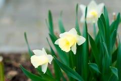 Gelbe Narzissenblumen der Nahaufnahme auf einem grünen Blumenbeet lizenzfreie stockbilder