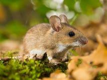 Gelbe necked Maus im Lebensraum Lizenzfreies Stockbild