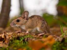 Gelbe necked Maus im Wald Stockfoto