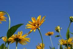 Gelbe Ochsenauge-Sonnenblumen (Heliopsis helianthoides) Stockbilder