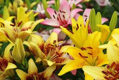 Gelbe, orange, rosa Lilien Stockfotos