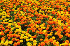Gelbe, Orangen- und Goldringelblume blüht auf Blumenbeet im Sommer Lizenzfreie Stockfotos
