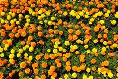 Gelbe, Orangen- und Goldringelblume blüht auf Blumenbeet im Sommer Lizenzfreie Stockbilder