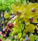 gelbe Orchidee Lizenzfreie Stockfotografie