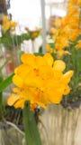 Gelbe Orchidee Lizenzfreies Stockbild