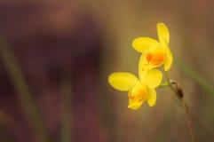 Gelbe Orchidee Lizenzfreies Stockfoto