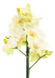 Gelbe Orchidee Stockbilder