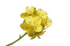 Gelbe Orchidee Stockfotografie