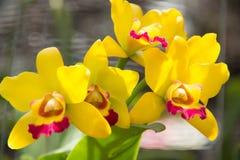 Gelbe Orchidee Stockfoto
