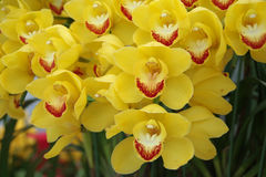 Gelbe Orchidee lizenzfreie stockfotos