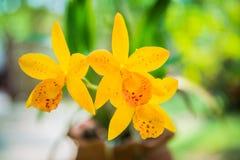 Gelbe Orchidee blüht Nahaufnahme für Hintergrund Lizenzfreie Stockfotos