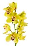 Gelbe Orchidee getrennt Lizenzfreie Stockbilder