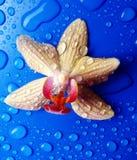 Gelbe Orchidee mit Regen fällt auf blauen Hintergrund Lizenzfreie Stockfotos