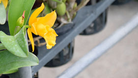 Gelbe Orchidee wachsen im Topf Stockbild