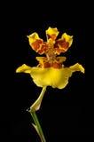 Gelbe Orchideeblume getrennt auf Schwarzem Stockfoto