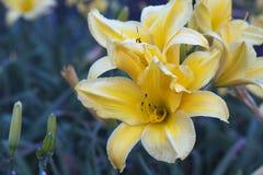 Gelbe Orchideen Lizenzfreies Stockfoto