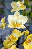 Gelbe Orchideen Stockbild
