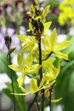 Gelbe Orchideen blühen nah oben mit grünem Blatthintergrund Stockfotos