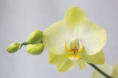 Gelbe Orchideen-Blume Stockfotografie