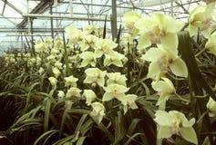 Gelbe Orchideen in einem Gewächshaus Stockbilder