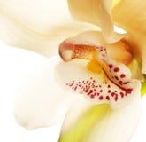 Gelbe Orchideenahaufnahme Lizenzfreies Stockbild