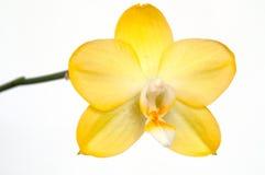 Gelbe Orchideenbluete einer Phalaenopsis Royalty Free Stock Image