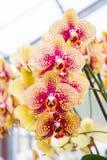Gelbe Orchideenblumen Lizenzfreie Stockbilder