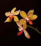 Gelbe Orchideenblumen auf schwarzem Hintergrund Lizenzfreie Stockbilder