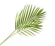 Gelbe Palmblätter Dypsis-lutescens oder goldene Stockpalme, Arekanusspalmblätter, tropisches Laub lokalisiert auf weißem Hintergr stockbild