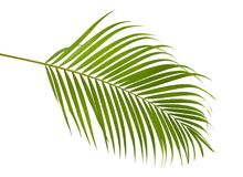Gelbe Palmblätter Dypsis-lutescens oder goldene Stockpalme, Arekanusspalmblätter, tropisches Laub lokalisiert auf weißem Hintergr stockfoto