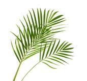 Gelbe Palmblätter Dypsis-lutescens oder goldene Stockpalme, Arekanusspalmblätter, tropisches Laub lokalisiert auf weißem Hintergr lizenzfreie stockfotografie