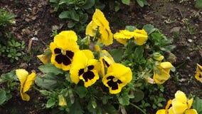 Gelbe Pansies stock video footage