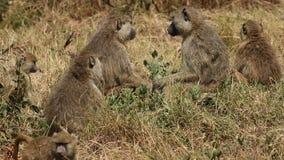 Gelbe Pavianfamilie Lizenzfreies Stockfoto
