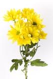 Gelbe Pelargonieblumen mit Stämmen Lizenzfreie Stockbilder