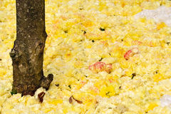 Gelbe Pelargonien Lizenzfreies Stockfoto