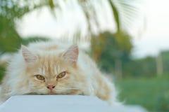 Gelbe persische Katze duckte sich auf dem Balkon Stockfotografie