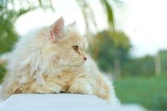 Gelbe persische Katze duckte sich auf dem Balkon Stockfoto