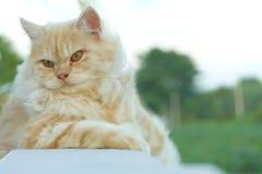 Gelbe persische Katze duckte sich auf dem Balkon Lizenzfreies Stockbild