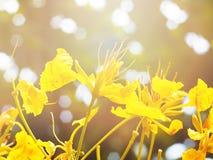 Gelbe Pfaublumen bei Sonnenaufgang Stockfotos