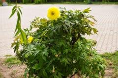 Gelbe Pfingstrosenblumen im Parkgarten an einem sch?nen Fr?hlingstag stockfotos