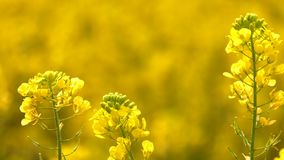 Gelbe Pflanzenblätter in Windy Day stock footage