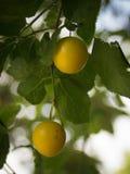 Gelbe Pflaumen auf dem Baum Lizenzfreies Stockfoto