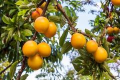 Gelbe Pflaumen, die auf Baum wachsen stockbild