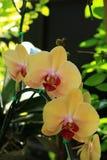 Gelbe Phalaenopsis-Orchidee Lizenzfreie Stockfotografie