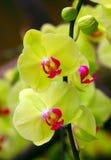 Gelbe Phalaenopsisorchideen im Gewächshaus Lizenzfreies Stockfoto