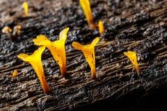 Gelbe Pilze auf Holz Lizenzfreies Stockfoto