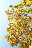 Gelbe Platane verlässt auf Hintergrund des blauen Himmels stockfotos