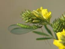 Gelbe Platterbse und goldeneyed Lacewing lizenzfreie stockfotografie